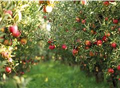 Autour de la pomme et de la poire